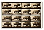 Oliver Gal, Buffalo in Motion