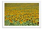 Judith Gigliotti, Sunflowers