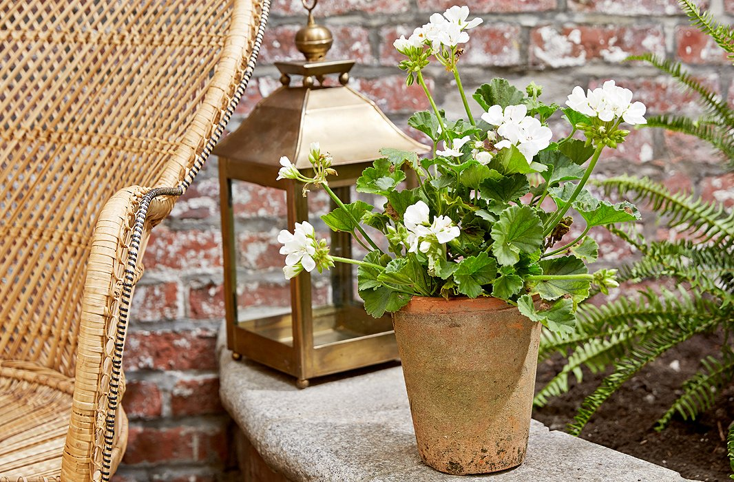 Bug-repelling cascading geranium will drape over its pot and add a delicate floral scent to your potagerie.