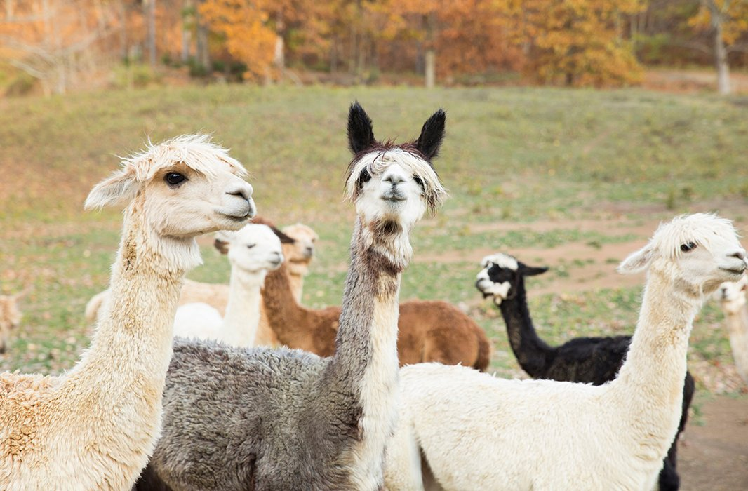 Forty of Alicia and Daniel's 200 alpacas live on their farm. The rest board at partner farms nearby.
