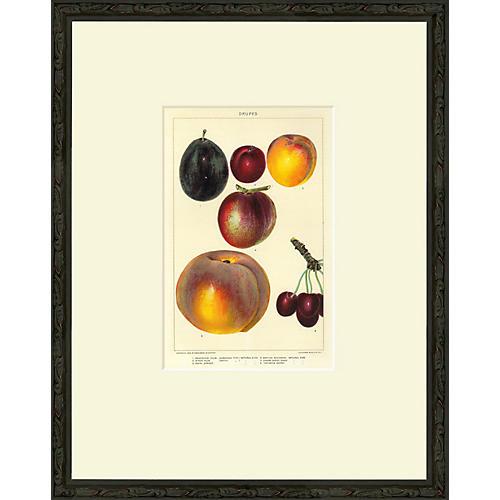 Stone Fruit, Drupes, 1902