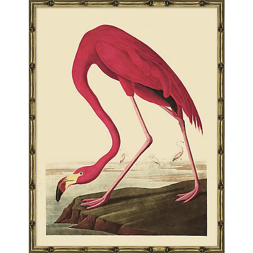 Audubon Flamingo, Audubon Flamingo