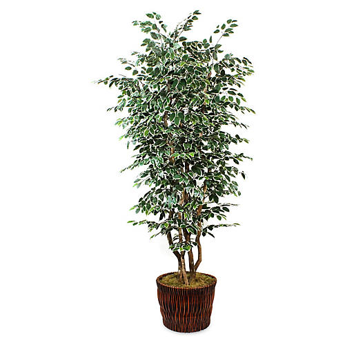 "90"" Variegated Ficus Tree w/ Basket Planter, Faux"