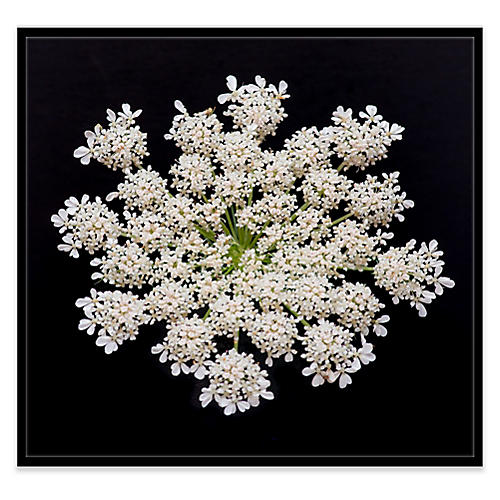 James Ogilvy, Queen Anne's Lace III