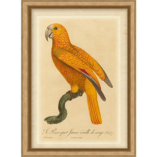 Orange Parrot II