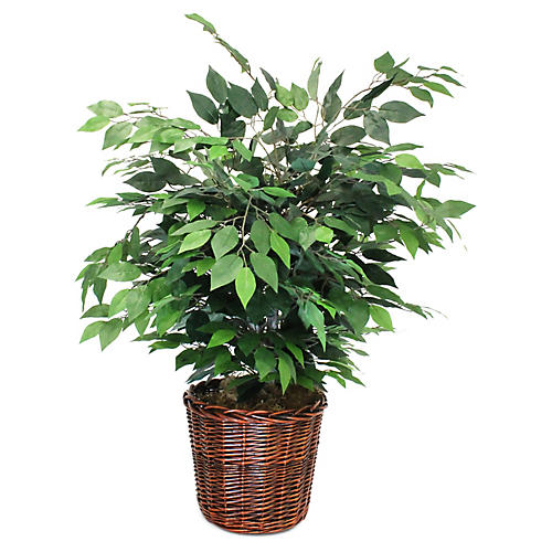 "36"" Ficus w/ Floor Planter, Faux"