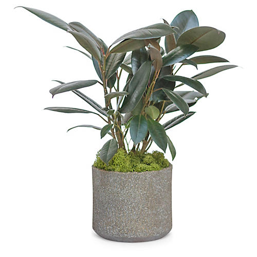 Rubber Plant w/ Cylindrical Pot, Live