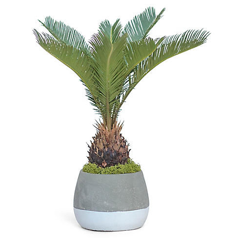 Sago Palm Plant w/ Bowl Pot, Live