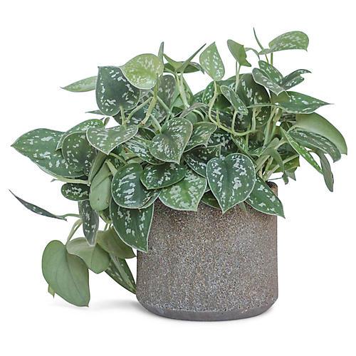 Satin Pothos Plant w/ Cylindrical Pot, Live