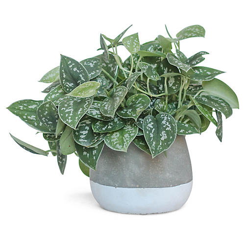 Satin Pothos Plant w/ Bowl Pot, Live