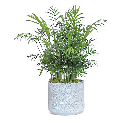 Bella Palm Plant w/ Cylindrical Pot, Live