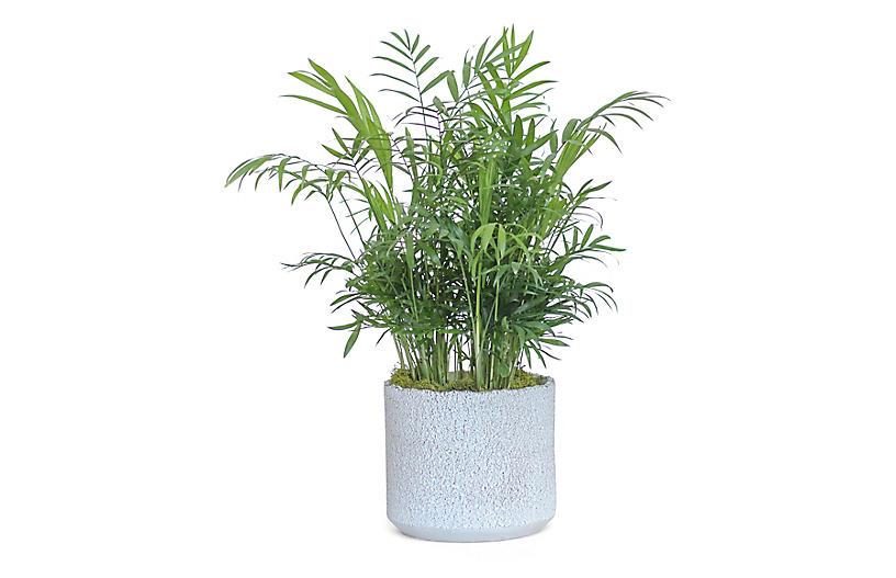 Bella Palm Plant w/ Cylindrical Pot, Live