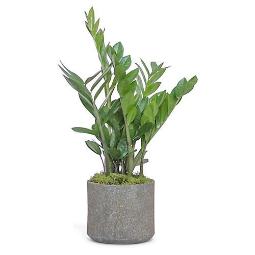 ZZ Plant w/ Cylindrical Pot, Live
