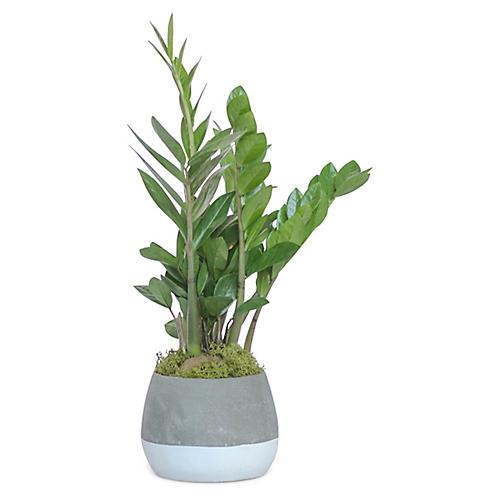 ZZ Plant w/ Bowl Pot, Live