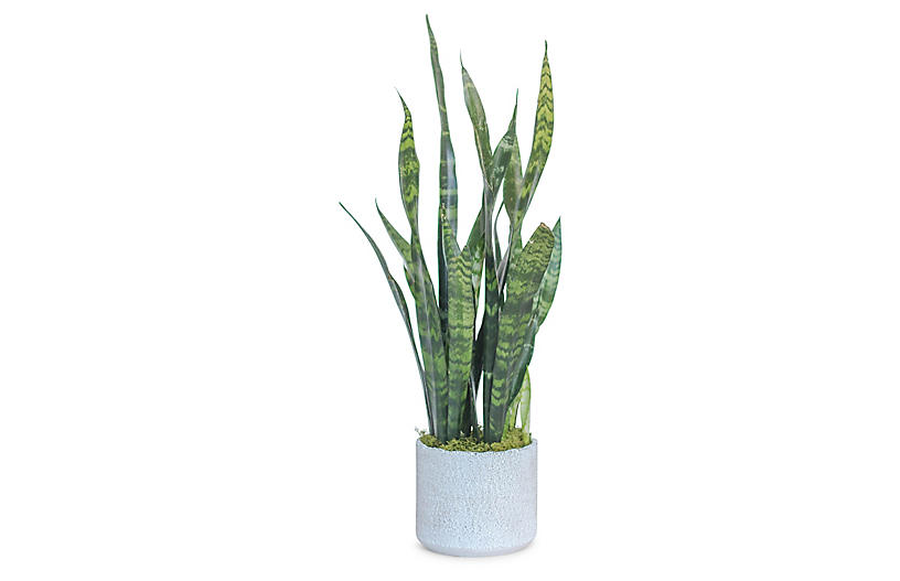 Snake Plant w/ Cylindrical Pot, Live
