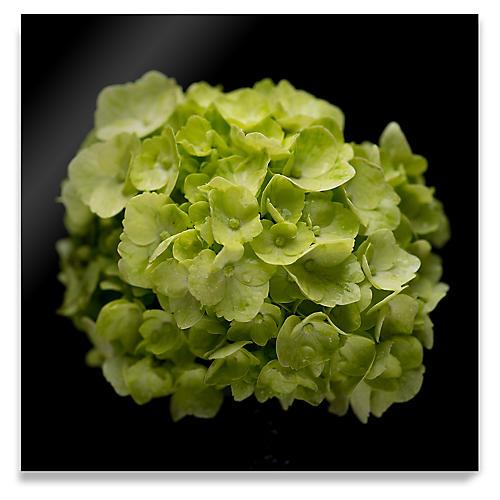 James Ogilvy, Green Hydrangea