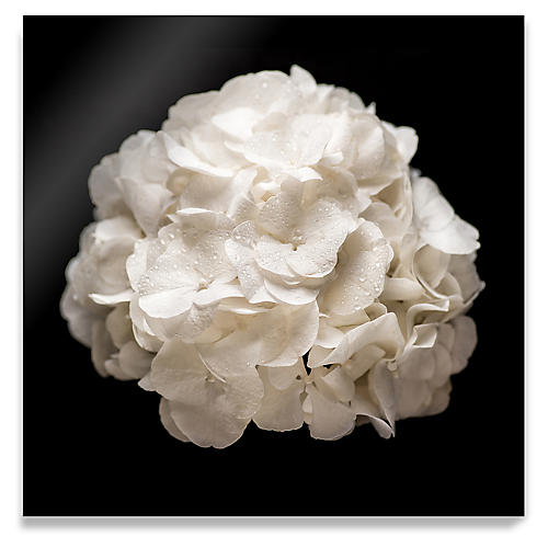 James Ogilvy, White Hydrangea