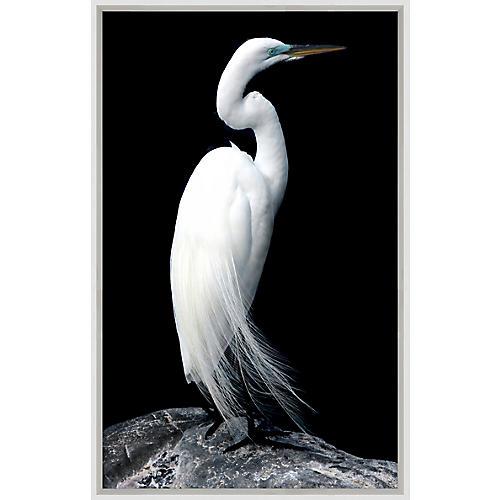Regal Egret