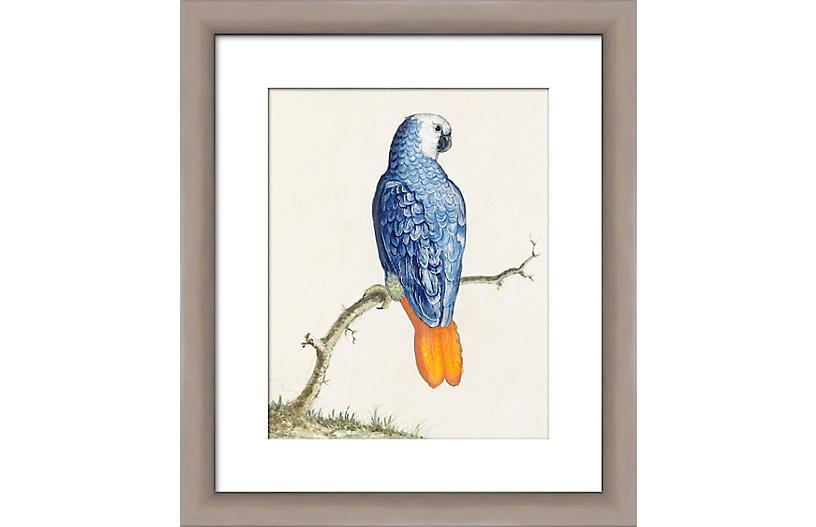 Royal Blue Parakeet