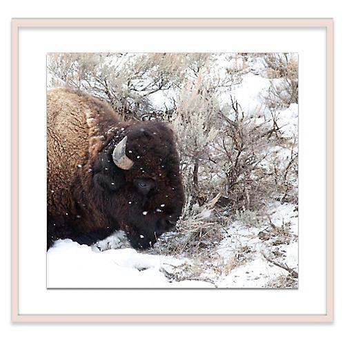 Snow Bull Photograph