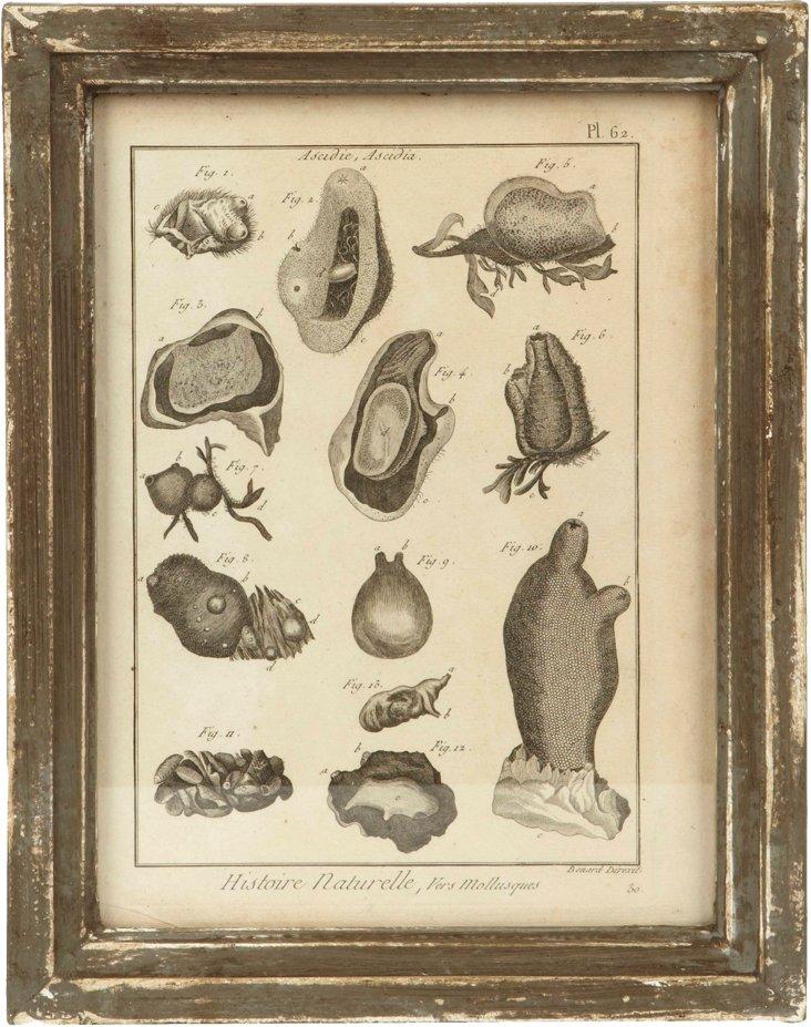 Framed Nature Print, Ascidia II