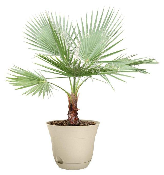 "36"" California Fan Palm Tree, Live"