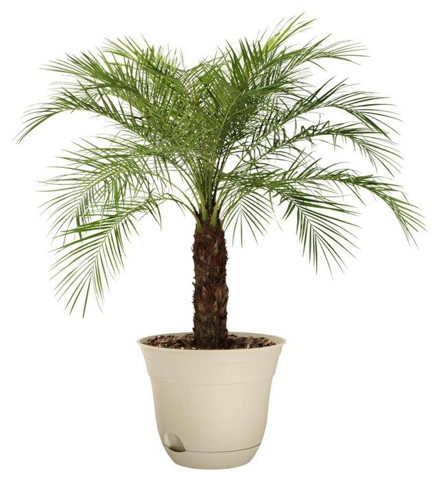 "36"" Pygmy Date Palm Tree, Live"