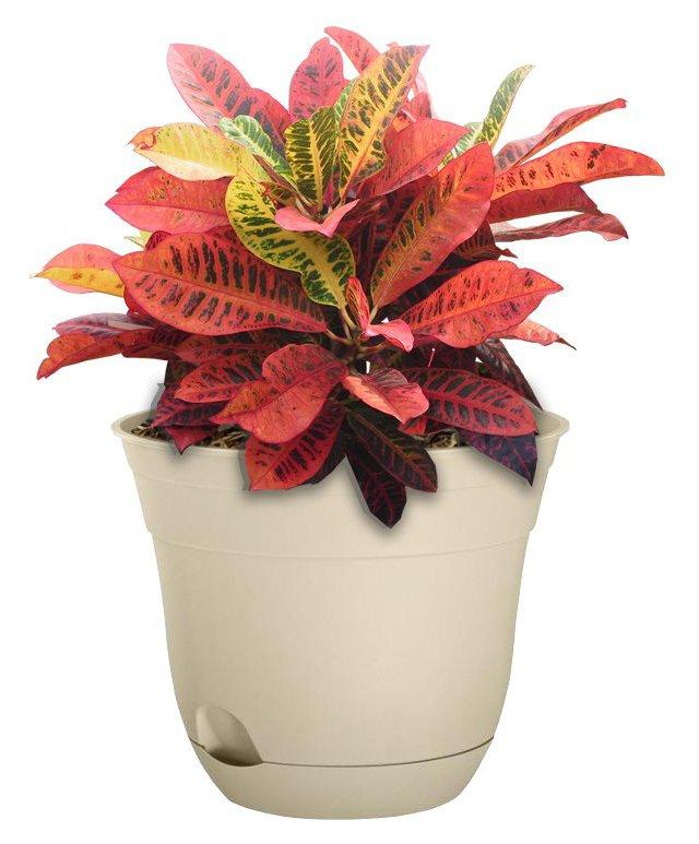 """36"""" Multicolor Croton Plant, Live"""