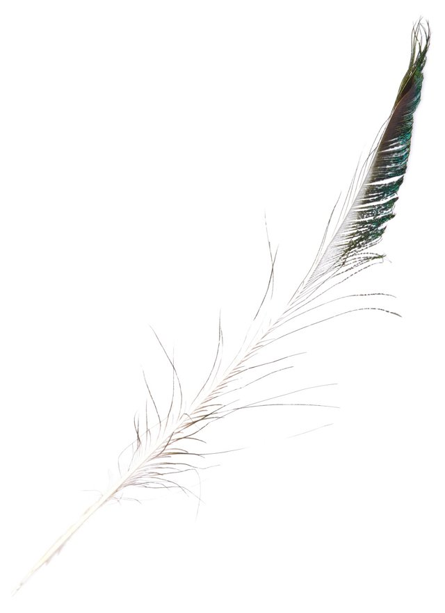 S/10 Peacock Sword Feathers, White/Teal