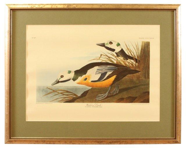 Western Duck, Audubon Leipzig Edition