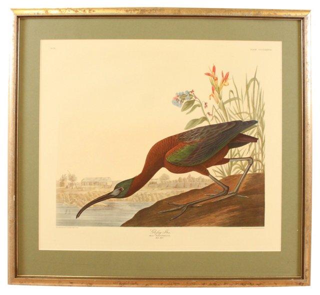 Glossy Ibis, Audubon Leipzig Edition