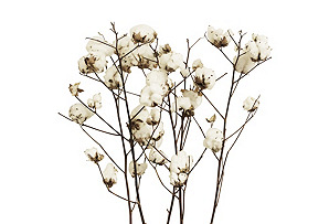 S/5 Cotton Stalks, Dried*