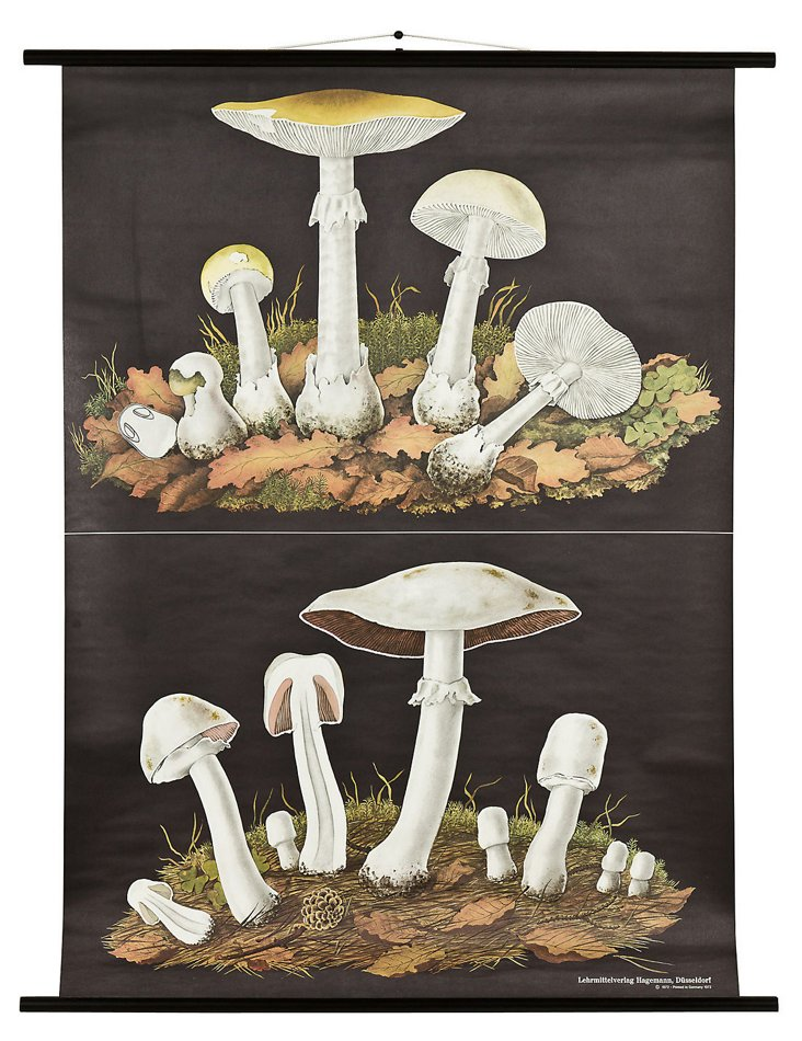 Botany Chart, Death-Cap Mushroom