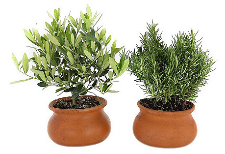 Olive & Rosemary Plants, Live