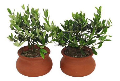 Olive Plants, Live