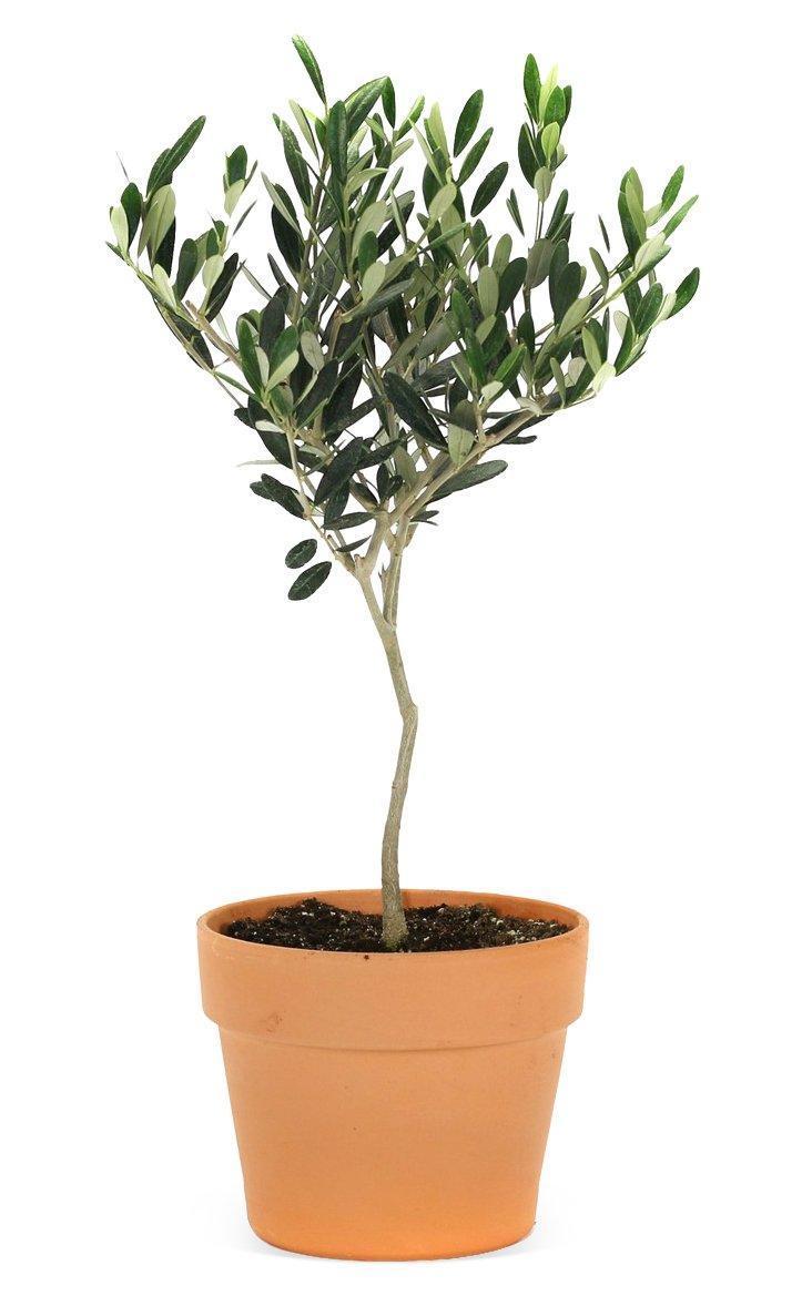"""17"""" Olive Tree in Pot, Live"""