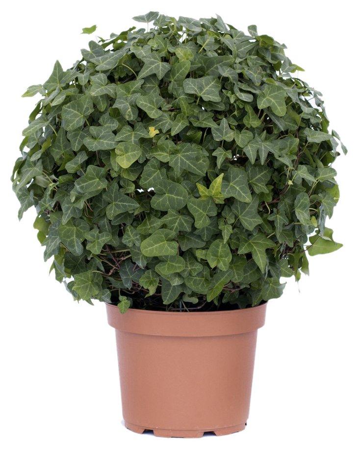 """19"""" Ivy Globe in Pot, Live"""