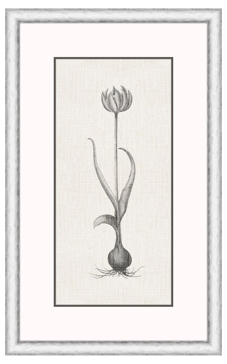 Tulipa Bulb I