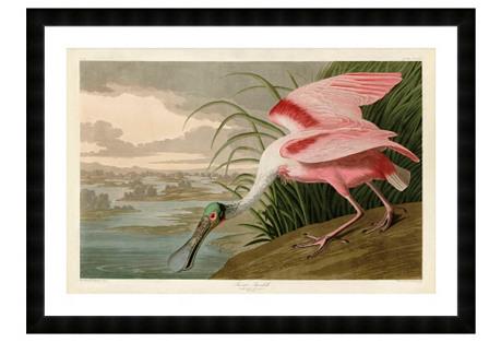 Audubon, Roseate Spoonbill