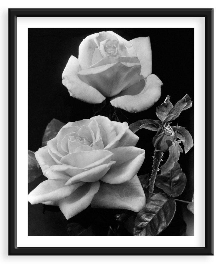 McFarland, Roses September 1939