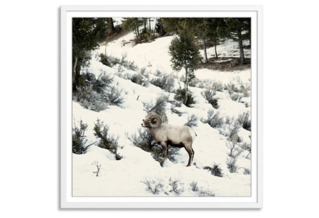 Christine Flynn, Big Horn Sheep