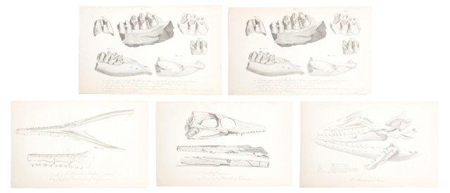 19th-C. Fossil Engravings, Set of 5, II
