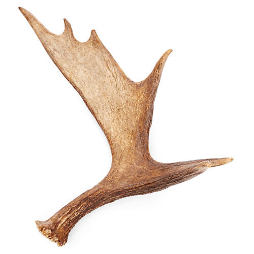 "24"" Moose Antler, Natural"