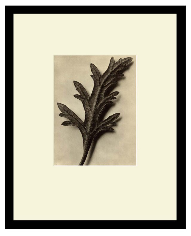 Canadian Vervain, Leaf