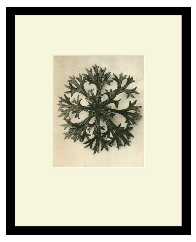 #5 Willkomm Saxifrage, Leaves