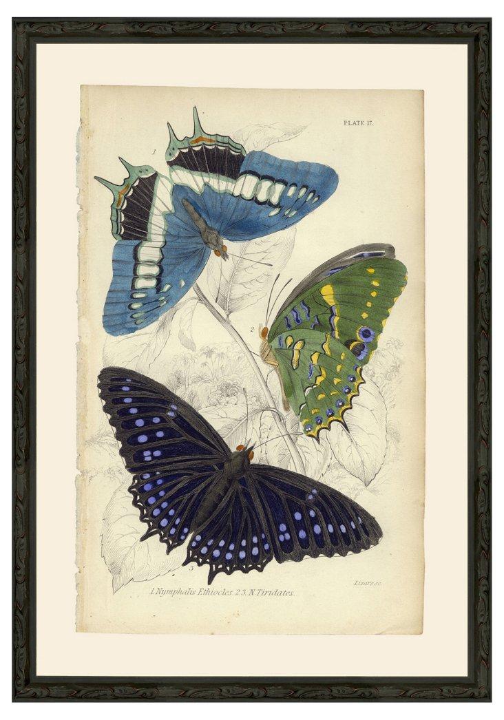 Butterflies Pl 17 Blue, Green, Black