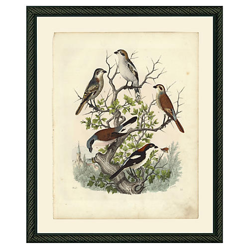 Shrike Birds, 5 in Tree, 1852