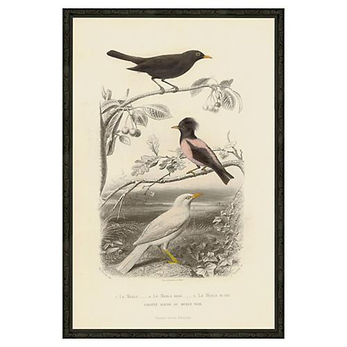 Pink Bird - Le Merle Rose, 1850