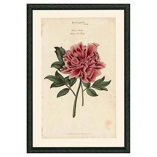 Pink Peony 43, 1810