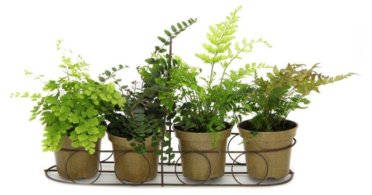 S/4 Ferns in Window Basket